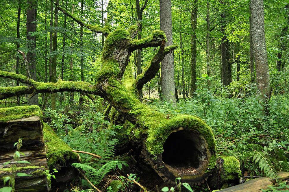 Białowieża Nationalpark (© Jacek Karczmarz)