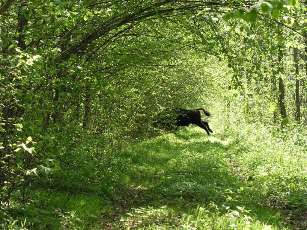 Zu sehen sind Wald und ein Bison in der Bialowiezer Heide, Bild: Herr stahlhoefer