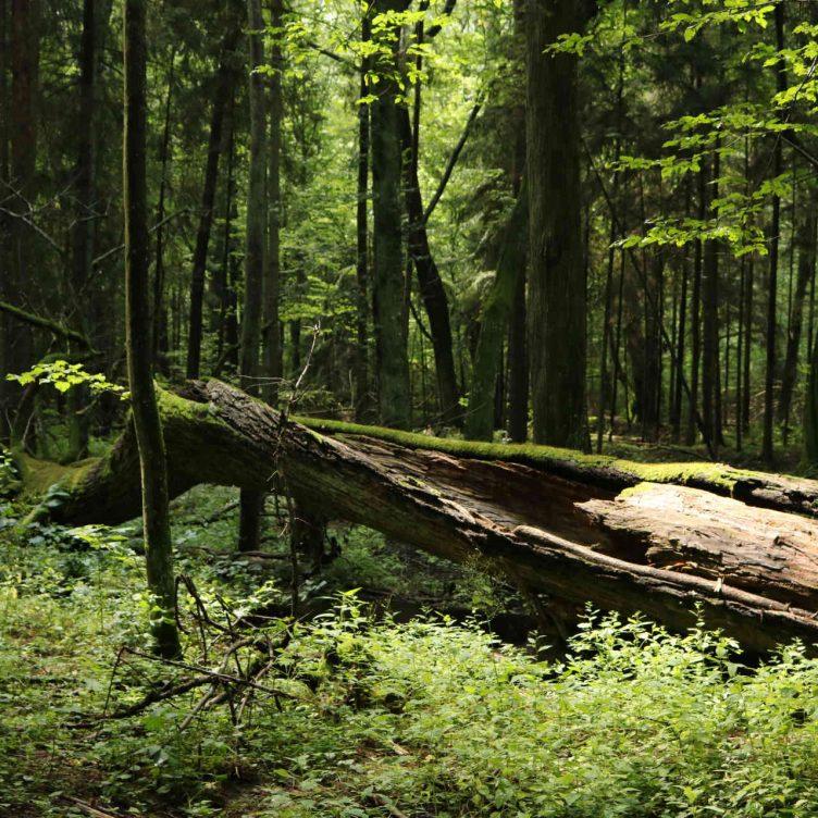 Zu sehen ist der Urwald nahe Białowieża, Bild: J0ck3j