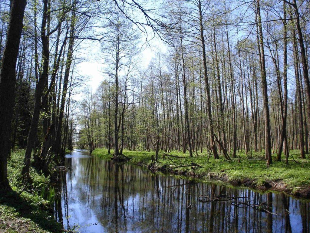 Zu sehen ist der Urwald nahe Białowieża, Bild: Robert Wielgórski a.k.a. Barry Kent