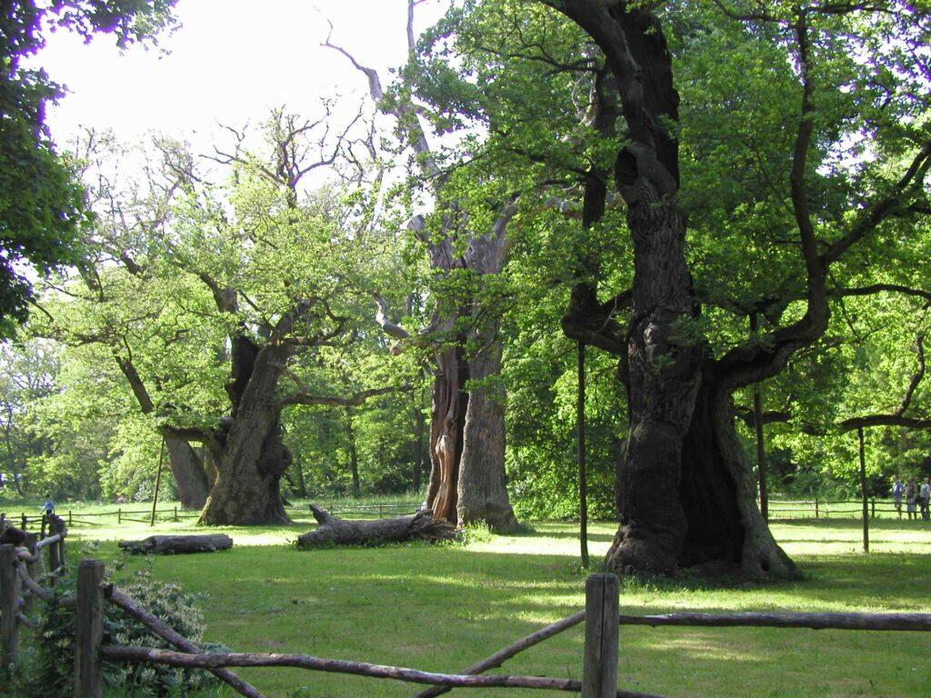 Zu sehen sind 1000-jährige Eichen im Arborium Rogalin, Bild: Robert Wrzesinski